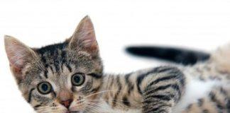 cica nevek